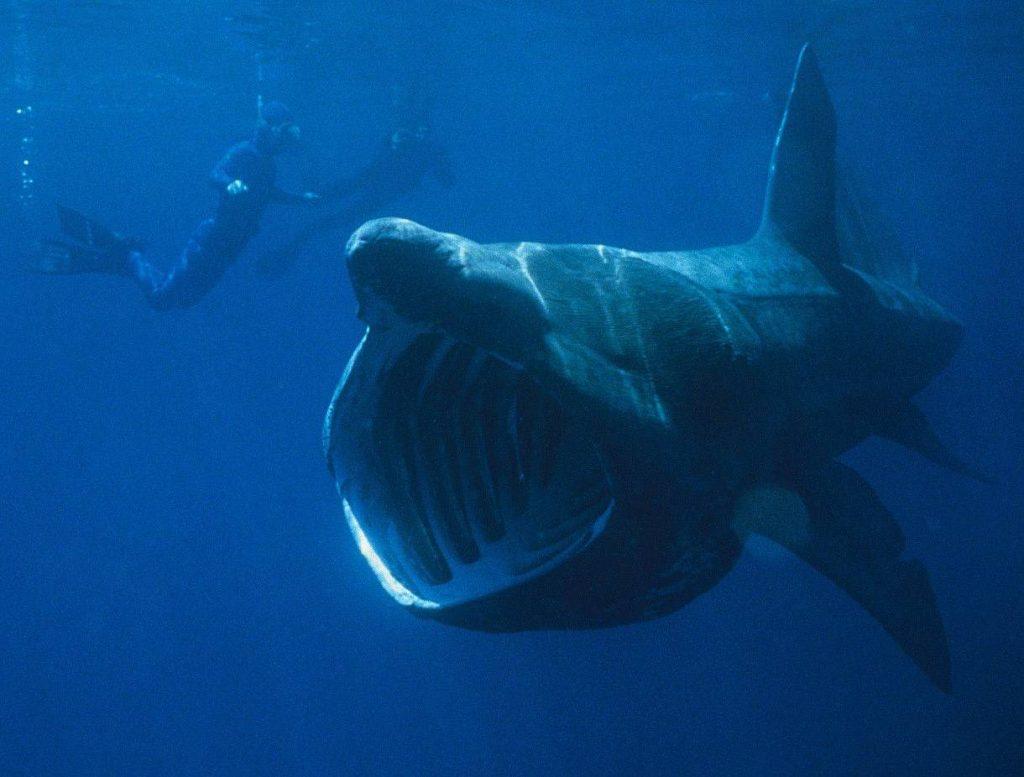 Delle boe tecnologiche ed una rete per tutelare gli squali elefante